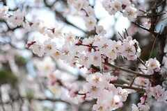梅の花が咲いています。(2015-03-18,共用部,OTHER,1F)