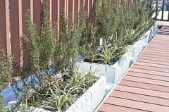 ローズマリーとフウチソウが植えられています。(2014-02-18,共用部,OTHER,5F)