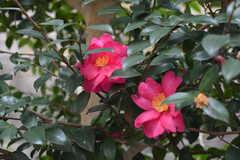 玄関にはきれいな椿が咲いています。(2020-01-27,周辺環境,ENTRANCE,1F)