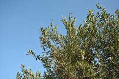 一番大きなオリーブは空に向かってすくすく成長中。(2015-10-19,共用部,OTHER,1F)