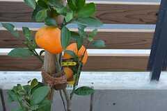 庭にはみかんの木。(2014-11-13,共用部,OTHER,1F)