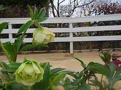 クリスマスローズも咲いています。 ※事業者様提供素材(2013-02-28,共用部,OTHER,1F)