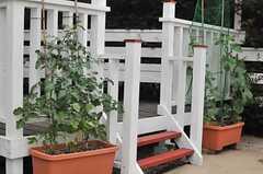 ミニトマトとキュウリも順調に成長中。(2014-06-04,共用部,OTHER,1F)