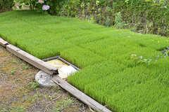 これから植える予定の稲が並んでいました。(2016-06-07,共用部,GARAGE,1F)
