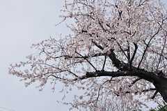 桜が咲いていました。(2013-03-30,共用部,ENVIRONMENT,1F)