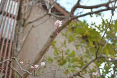 春到来。(2019-02-20,共用部,ENVIRONMENT,1F)