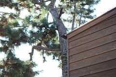 海の近くらしく、松の木。(2012-11-20,共用部,OTHER,1F)