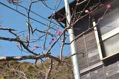 梅が咲いていました。(2016-02-10,共用部,OTHER,1F)