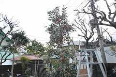 ロドレイアの木も植えられました。花言葉は「幸福の再来」。(2016-03-01,共用部,OTHER,1F)