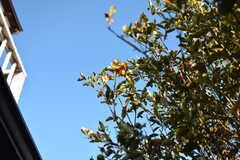 金柑もなっています。早く収穫しないと鳥に食べられてしまうのだとか。(2020-01-08,共用部,OTHER,1F)