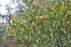 庭になった金柑。レモンも育っているそうです。(2015-01-28,共用部,OTHER,1F)