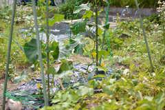 キュウリやナスなどの夏野菜がたくさん育っています。(2021-05-18,共用部,OTHER,1F)