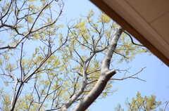 建物より高いエノキ。樹齢は百年を超えているんだとか。(2013-04-05,共用部,OTHER,2F)