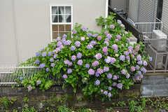 線路を挟んで向かいの家に咲いていた紫陽花。(201号室)(2016-06-21,専有部,ROOM,2F)
