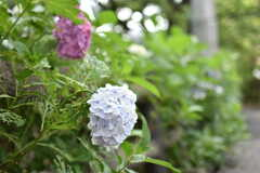 緑道の紫陽花。(2019-06-26,共用部,ENVIRONMENT,1F)
