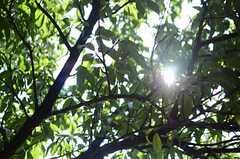 桃の木です。(2014-09-03,共用部,OTHER,1F)