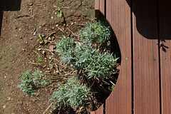 ラベンダーが植えられているところはデッキがくり抜かれています。(2014-09-03,共用部,OTHER,1F)