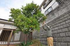 金柑の実がなる。今後もフルーツを植えていくそう。(2009-10-29,共用部,OTHER,1F)