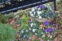 アプローチ脇にはパンジーが咲いています。(2013-02-20,共用部,OTHER,1F)