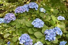 アジサイが咲いています。(2017-06-22,共用部,OTHER,1F)