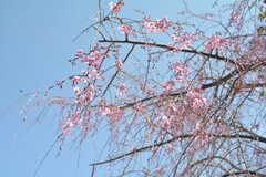 枝垂桜がとてもきれいです。(2015-03-31,共用部,OTHER,1F)