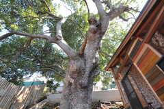 なんじゃもんじゃの木を見上げる2。壮大です。(2011-10-25,共用部,OTHER,3F)