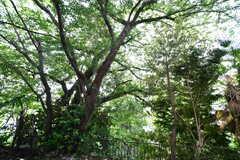 大きな桜の木。満開になるととてもキレイだそうです。(101号室)(2017-05-31,専有部,ROOM,1F)
