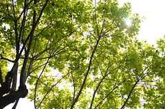 植えられているのは、柿の木なんだとか。(2014-04-24,共用部,OTHER,1F)