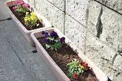 塀沿いに植えられたパンジー。(2013-03-04,共用部,OTHER,1F)