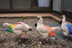 オーナーさんが飼っている烏骨鶏が散歩しに来ます。(2015-05-19,共用部,OTHER,1F)