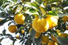 庭には柚子だけでなく、たくさんの果実が実るとの事。(2009-12-18,共用部,OTHER,1F)