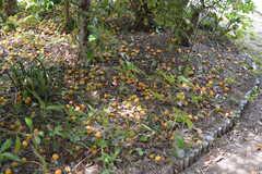 物件名にもある通り、梅がたくさん。(2021-06-11,周辺環境,ENTRANCE,1F)