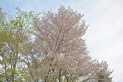 まだ桜が咲いていました。(2017-05-01,共用部,ENVIRONMENT,1F)