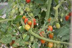 夏野菜も育っています。トマトは2種類実がなっています。(2015-07-30,共用部,OTHER,1F)