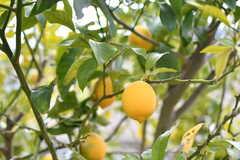 柑橘系の果物も実っています。こちらはレモン。(2019-01-20,共用部,ENVIRONMENT,1F)