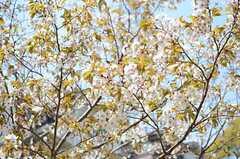 桜も咲いています。(2014-04-09,共用部,OTHER,1F)