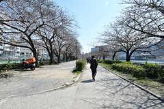 近くの桜並木の様子。満開まではもう少し。(2017-04-04,共用部,ENVIRONMENT,1F)