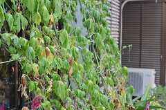 緑のカーテン(ゴーヤ)は、お隣さんが手入れを手伝ってくれるのだそう。(2013-08-22,共用部,OTHER,1F)