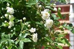 玄関前のバラ。4月の終わり頃に咲きます。(2013-04-22,共用部,OTHER,1F)