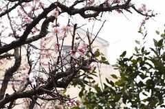ちょうど梅が咲いていました。(2012-03-19,共用部,OTHER,1F)