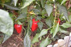 緑ピーマンや赤ピーマン、ミニトマトなども育っています。(2016-10-20,共用部,OTHER,1F)