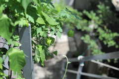 植えられたホオヅキ。(2014-08-19,共用部,OTHER,2F)