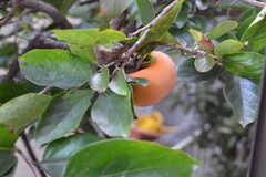 窓の外には柿の木。(102号室)(2014-10-25,専有部,ROOM,1F)