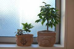 窓際の植物たち。(2015-11-27,共用部,LIVINGROOM,2F)