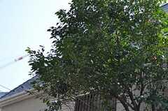 庭に根を張るシンボルツリー。(2013-03-22,共用部,OTHER,1F)