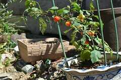 トマトがなっています。(2013-09-03,共用部,OTHER,1F)