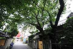 東武東上線・上板橋駅から、住居に向かう途中にある巨樹。道路を覆うほどに茂っています。(2012-07-13,共用部,ENVIRONMENT,2F)