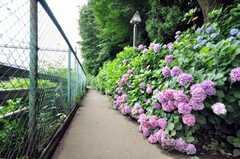 シェアハウス近くの飛鳥山公園の紫陽花。(2009-07-03,共用部,ENVIRONMENT,1F)