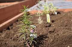 イベントではハーブの苗も植えました。(2013-02-23,共用部,PARTY,2F)