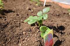 いちごの苗も植えられています。(2013-02-23,共用部,PARTY,2F)